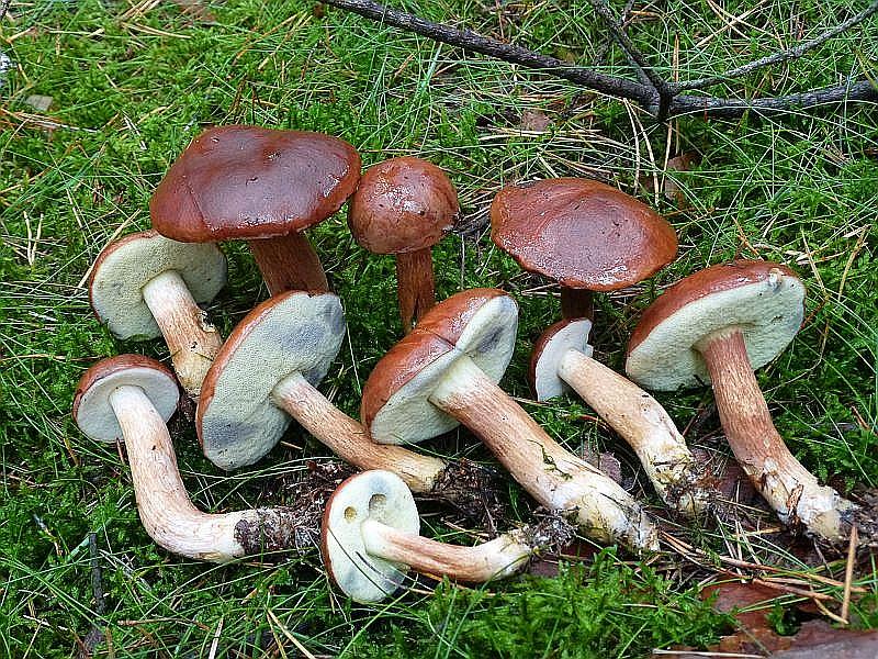 Maronen - Röhrlinge (Xerocomus badius) gab es heute besonders in einem Kiefernbereich im Stangenholz alter reichlich. Ich hätte den ganzen Korb mit ihnen füllen können. Sehr guter Speisepilz. Standortfoto im Naturpark Nossentiner/Schwintzer Heide.