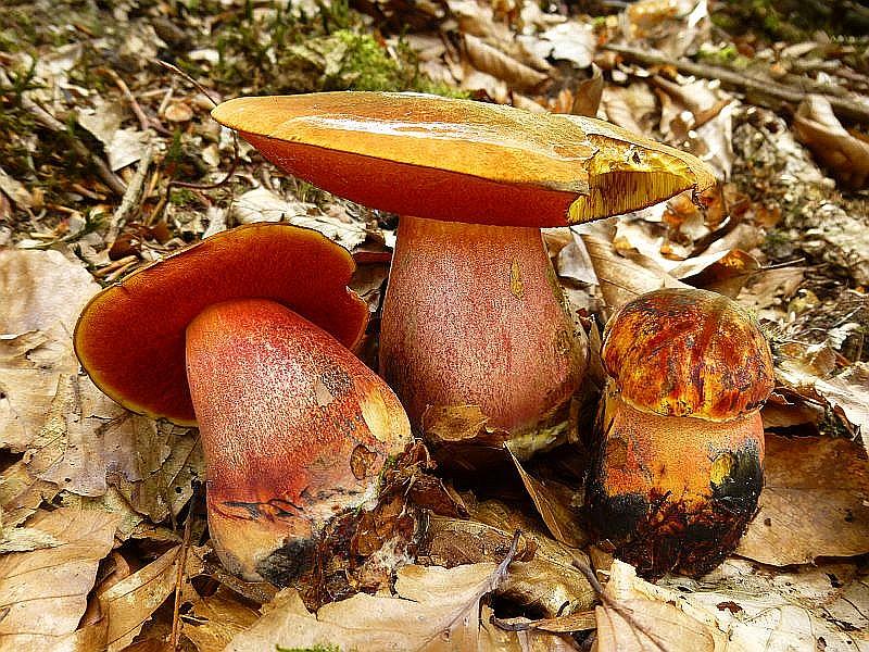 Etwas außergewöhnlich mit ihren rötlichen Farbtönen besonders bei dem jungen, rechten Exemplar erscheinen diese Flockenstieligen Hexen - Röhrlinge (Boletus luridiformis). Ausgezeichneter Speisepilz, roh giftig!
