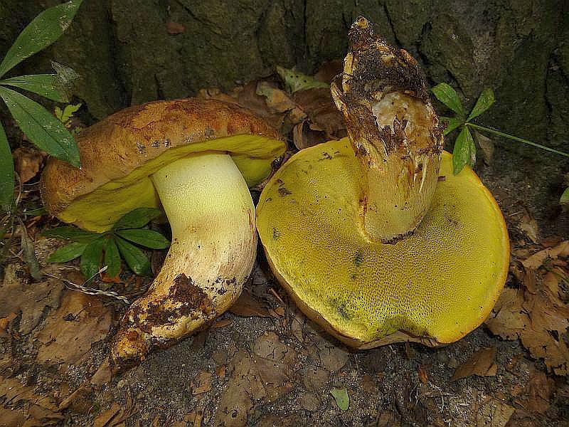 Charakteristisch für solche gehaltvollen Buchenwälder mit teils kalkhaltigen Böden sind die ansonsten selten vorkommenden Anhängsel - Röhrlinge (Boletus appendiculatus). Der Gelbfleischige Steinpilz, wie er auch genannt wird, ist essbar, aber der Geschmackswert wird unterschiedlich interpretiert. Von vorzüglich bis pfui gehen hier die Geschmäcker auseinander.