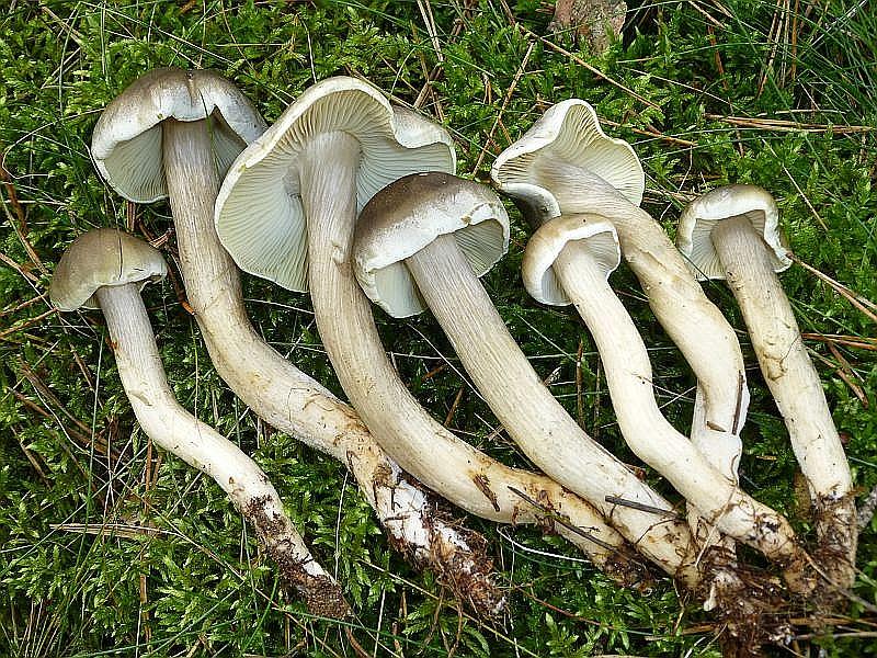 Zaghaft erscheinen nun auch schon die ersten Ritterlinge. Den schwach giftigen Seifenritterling (Tricholoma saponaceum) treffen wir meist in sandigen Nadelwäldern an. Neben grünlichen Anflügen kann er auch röten und besitzt einen typischen, an Seifenlauger erinnernden Geruch. Er kann sehr veränderlich sein. Am Standort in der Nossentiner/Schwintzer Heide am 14.09.2013 fotografiert.