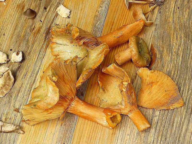 Dazu kamen dann unsere gefundenen Waldpilze, wie beispielsweise diese zartbitterlich schmeckenden Fichten - Reizker (Lactarius deterrimus).