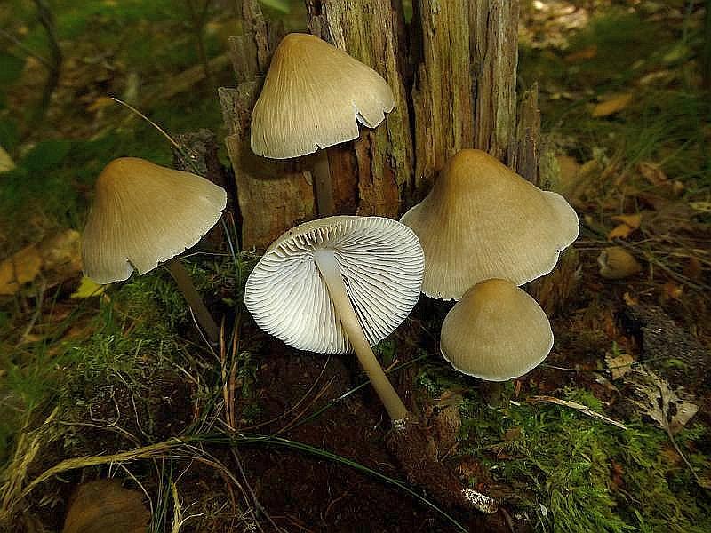 Auch diese, fast ganzjährig an Laubholzstümpfen wachsenden Rosablättrigen Helmlinge (Mycena galericulata) sollen wunderbar schmecken. Allerdings nur die Hüte. Es ist der einizge essbare Vertreter der umfangreichen Gattung der Helmlinge. Solche Pilze sollten allerdings nur vom Kenner gesammelt werden.
