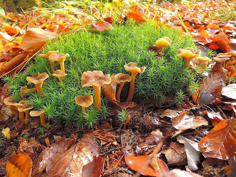 Neben einigen Herbsttrompeten scheinen jetz auch verstärkt die Trompeten - Pfifferlinge (Cantharellus tubaeformis) zu kommen. Liegt das Laub der Buchen erst einmal unter, werden bedie Arten besonders üppig, denn sie wollen durch die Blätter hindurch. Trompeten - Pfifferlinge können bis in den Hochwinter gesammelt werden. Diese schöne Stimmungsfoto stammt nochmal von Hans - Werner Griffel aus Hamburg, aufgenommen in einem Buchenwald in der Schaalsee - Region.