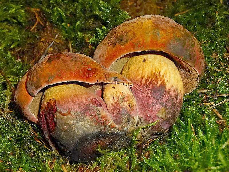 Auch der sehr seltene Glattstielige Hexen - Röhrling (Bolertus queletii) war zu bewundern. Er wurde uns von einem Pilzsammler zur Verfügung gestellt.