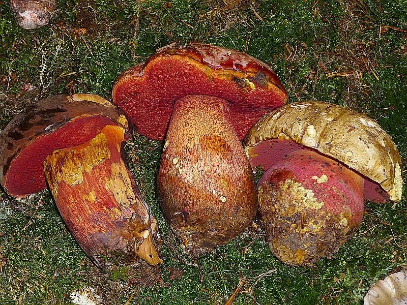 Hier sehen wir drei rotporige Röhrlinge zum Vergleich. Links der häufige Flockemstielige Hexen - Röhrling (Boletus luridiformis) als ausgezeichneter Speisepilz. In der Mitte der extrem seltene Purpur - Röhrling (Boletus rhodoxanthus) vom Schweriner See, den wir Anfangs für B. legalei hielten und rechts den ebenfalls sehr seltenen und schwach giftigen Satans - Röhrling (Boletus satanas.