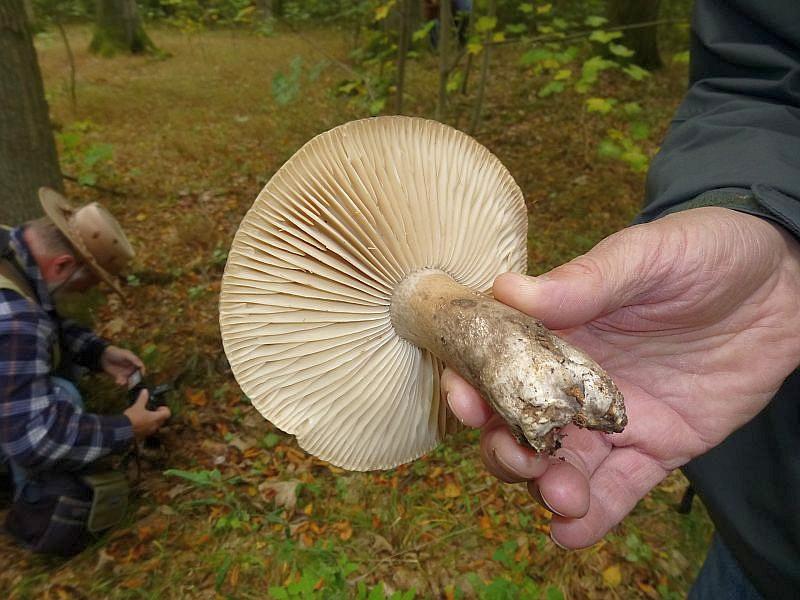 Recht häufig war in diesem gehaltvollen Buchenwald auch der Dickblättrige Schwarztäubling (Russula nigricans) vertreten.