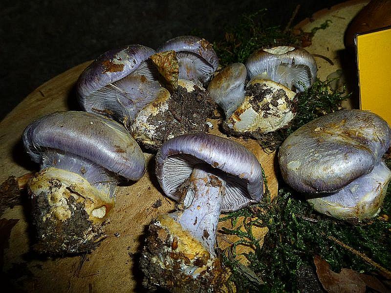 Eine Augenweide sind auch diese seltenen Blauen Klumpfüße (Cortinarius caerulescens).