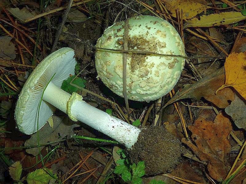 Recht häufig stand hier auch der Gelbe Knollenblätterpilz (Amanita citrina). Man erkennt in durch seine weiße bis leicht gelblichgrüne Färbung, der abgesetzten Stielknolle und deutlicher, hängender Manchette am Stiel sowie an seinem Geruch nach rohen, muffigen Kartoffeln. Der Pilz ist nur roh schwach giftig, sollte aber auf keinen Fall zu speisezwecken mitgenommen werden weil er zum einen nicht schmaeckt und zum anderen leicht mit dem tödlich giftigen Grünen Knollenblätterpilz verwechselt werden kann.