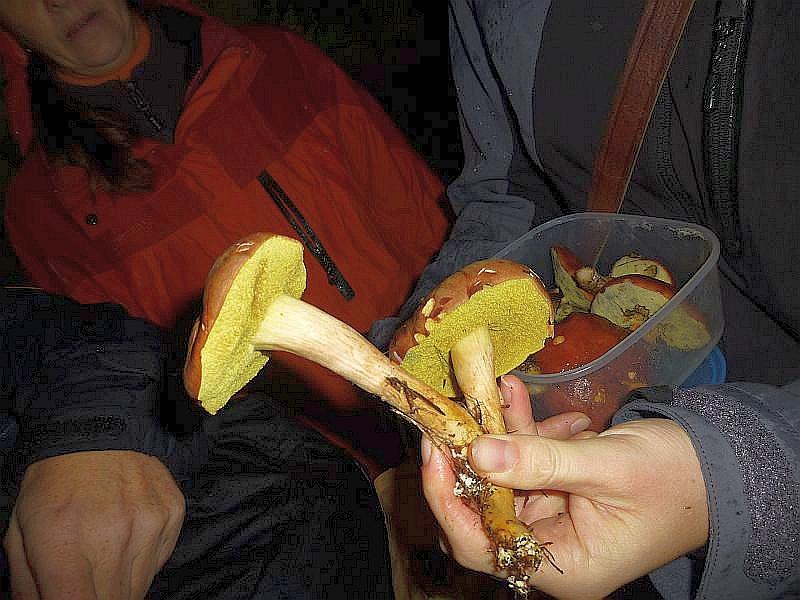 Der Braune Filzröhrling, eine dunkle Form der Ziegenlippe (Xerocomus subtomentosus), war heute einer der häufigsten Röhrlinge. Er unterscheidet sich von der hier ebenfalls häufigen Marone durch die filzige, wildlederartige Hutbeschaffenheit und durch leuchten goldgelbe Röhrenmündungen. Essbar.