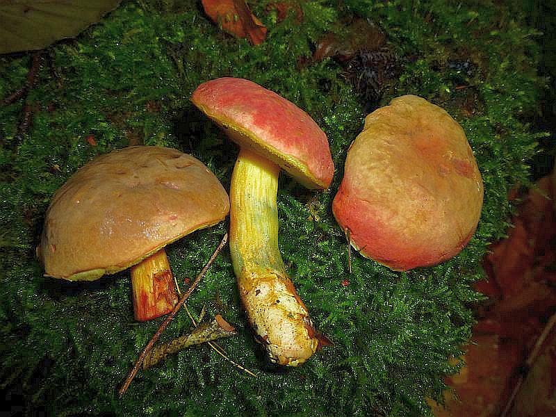 Bei diesen Pilzen handelt es sich nicht um Blutrote Röhrlinge sondern nur um besonders rot gefärbte Derbe Rotfüßchen. Meist überwiegen bei ihnen die dunkelbraunen Farbpigmente auf der Hutoberfläche, gelegentlich können aber die roten Pigmente, die auch bei den braunen im Hintergrund enthalten sind, und sie sehen rot aus.