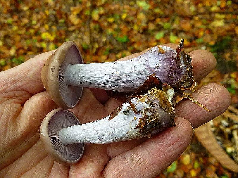 Der Violette Rötel - Ritterling (Lepista nuda) ist ein wertvoller, wohlschmeckender Speisepilz. Er ist ein typischer Spätherbstlicher Streuzersetzer und wird in den nächsten Wochen immer häufiger werden.