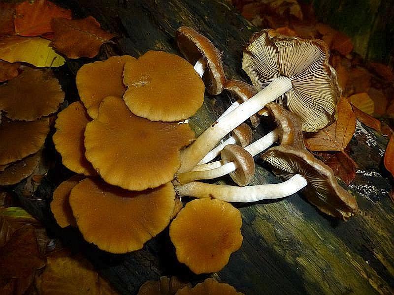 Auch den Wässrigen Mürbling (Psathyrella hydrophila) konnte wir heute im Haushalt Forst an Laubholzstubben finden. Der essbare Pilz wird wegen seines büscheligen Wachstums in großen Büscheln auch als Weißstieliges Stockschwämmchen bezeichnet. Standortfoto am 19.10.2013.