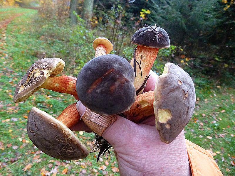 Unter Altfichten wuchs diese Handvoll Rotfüßchen (Xerocomus chrysenteron). Essbar.