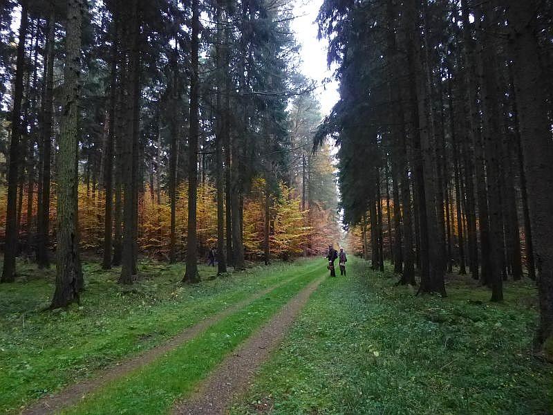 Hier wird der monotone Fichtenwald teilweise mit Buchen verjüngt. Sie gen einen wunderbar herbstlich - goldenen Farbkostrast zum dunklen Fichtenforst.