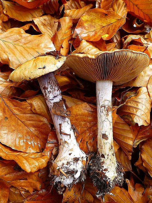 An einem kalkreicheren Standort waren auch noch einige Buchen - Klumpfüße (Cortinarius amoenolens) vertreten. Kein Speisepilz.