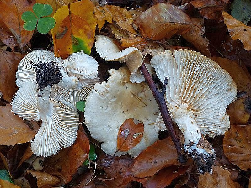 Der Widerliche Ritterling (Tricholoma lascivum) besitzt einen unangenehmen Geruch nach altem Sauerkraut und wächst vor allen unter Buchen. Er gilt als ungenießbar. Standortfoto am 26.10.2013.