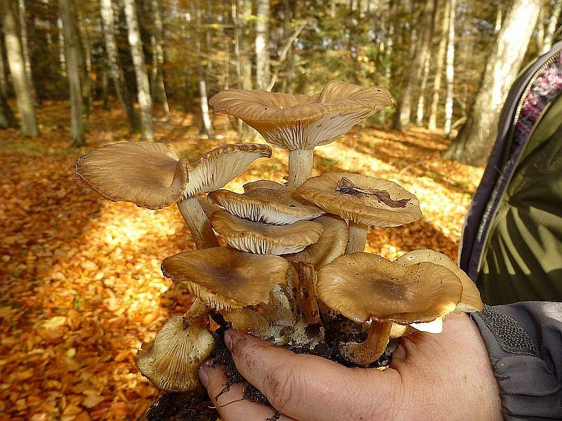 Der Braune Rasling (Lyophyllum decastes) zählt zu den guten Speisepilzen. Er ist an unterschiedlichen Standorten aunzutreffen.