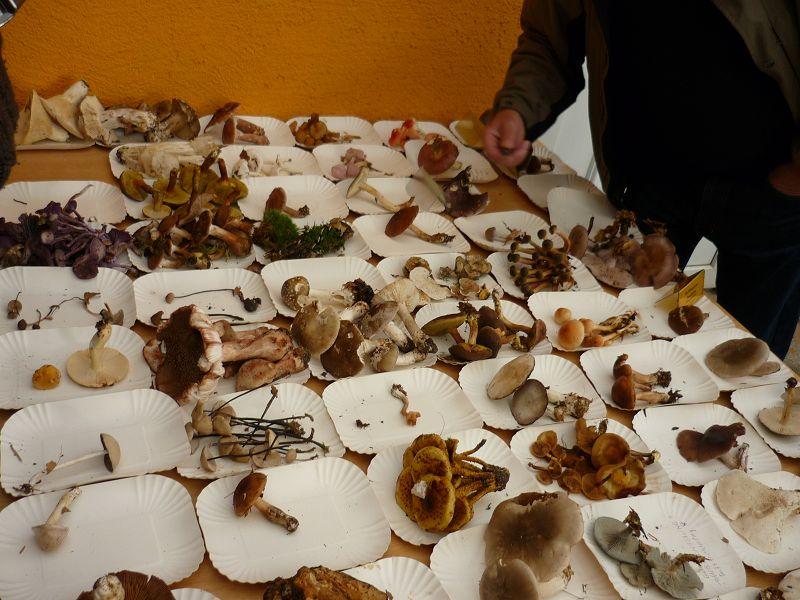 Aud Papptellern wurden die Pilze zunächst nach Arten getrennt und schließlich bestimmt, gattungszugehörig geordnet und beschriftet.