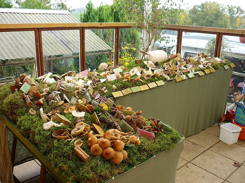 Die schönsten, wichtigsten und attraktivsten von den ca, 140 Großpilzarten stellten wir auf der vorbereiteten Moosfläche zu einer kleinen Pilzausstellung zusammen.
