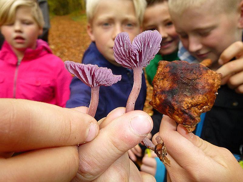 Die schicken Violetten Lacktrichterlinge sind an ihren entfernt stehenden, dicklichen Lamellen und dem etwas eingedellten Hut leicht zu erkennen. Sie sind frisch und dürfen zum Essen mit genommen werden. Der alte Hallimasch, rechts im Bild, bleibt im Wald.