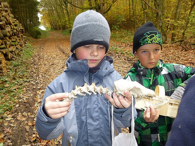 Aber nicht nur Pilze kann man im Wald entdecken. Auch dieses Tier - Skelett ist sicherlich sehr interessant für den Biologie - Unterricht. Es könnte sich um Überreste eines Fuchses handeln.