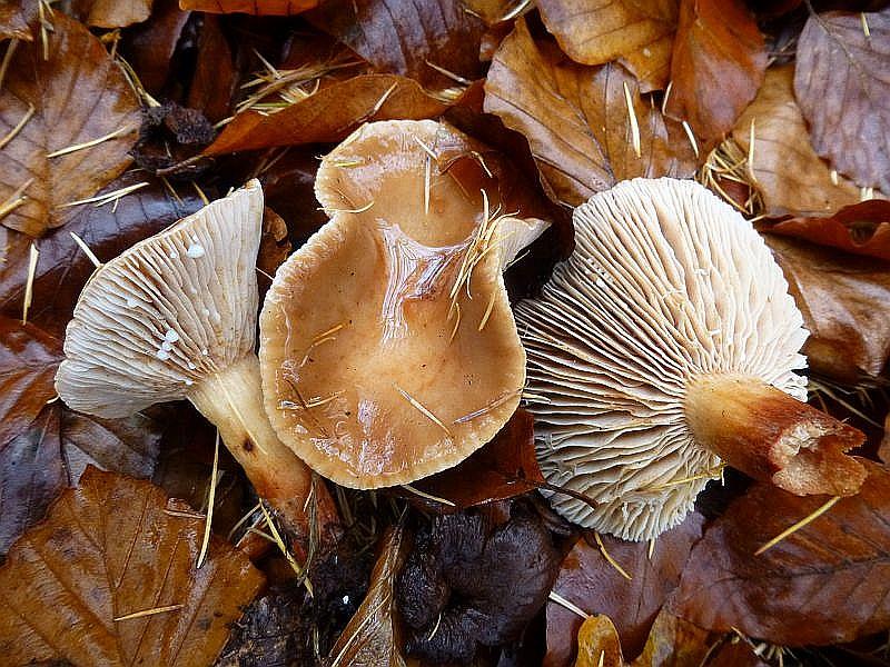 Der Süßliche Milchling (Lactarius subdulcis) ist eine Charakterart nahezu jeden Buchenwaldes. Besonders in den Herbsmonaten bildet dieser milde Milchling hier oftmals Massenbestände aus. Als Mischpilz kann er in den Sammlerkorb wandern. Standortfoto.
