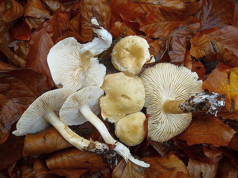 Der unangenehm riechende Widerliche Ritterling (Tricholoma lascivum) wächst recht häufig truppweise unter Eichen, Buchen und Hainbuchen. Unter Birken kommt der sehr ähnliche, ebenfalls unangehm riechende Strohblasse Ritterling vor. Beide sind ungenießbar. Standortfoto.