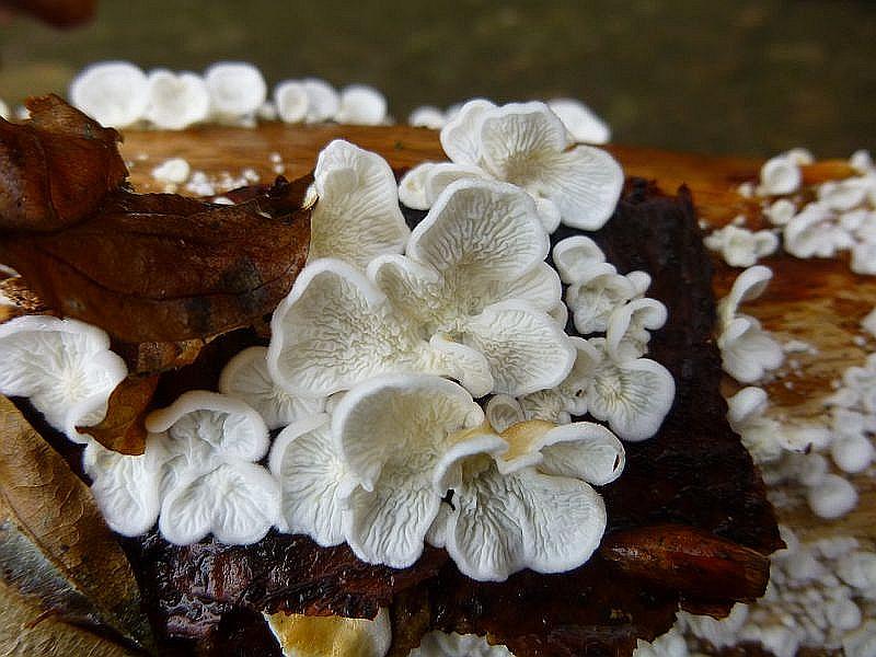 Der Krause Aderzähling (Plicatura crispa) wächst ebenfalls an Buche, mag es aber etwas feuchter. Diese Pilze wuchsen auf der Unterseite eines liegenden Buchenastes. Während unserer aktivsten Kartierungszeit, in den 1990er Jahren, war die Art in Mecklenburg eine absolute Rarität. Inzwischen hat sie sich derart ausgebreitet, dass man sie heute in jedem besseren Buchenwald finden kann.
