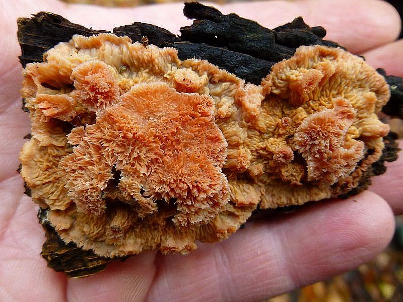 Der Orangerote Kammpilz (Phlebia aurantiaca) verursacht im Holz eine intensive Weißfäule. Er ist ganzjährig, insbesondere aber im feuchten Herbst und Winter an verschiedenen Laubhölzern, selter Nadelhölzern zu finden. Ungenie0bar.