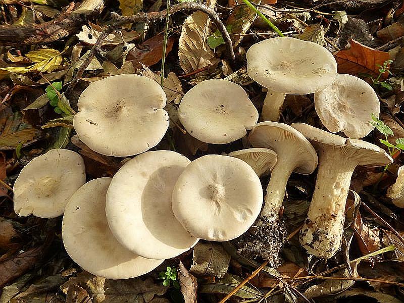 Hier eine Kollektion Mönchsköpfe (Clitocybe geotropa) von gestern. Der hochbeinige und elegante Trichterling wächst im Spätherbst in einigen Laubwäldern in teils großen, auffälligen Hexenringen. Frieder Gröger schreibt in seinem Nuch Pilze und Wildfrüchte folgendes zu seiner Verwendung: Gebraten schmackhaft, sowohl geschnitten als auch unzerteilt als Schnitzel. Schmeckt gekocht oder sterilisiert nicht. Trcknet sehr gut, ist aber nur von geringer Würzkraft. Alt zäh, besonders im Stiel. Standortfoto am 06.11.2013.