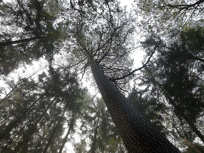 Nein! Es sind nur die Baumkronen, die hier faszinieren, aber gelegentlich können tatsächlich hoch an den Stämmen auch Fruchtkörper einiger Großpilzarten gefunden werden.