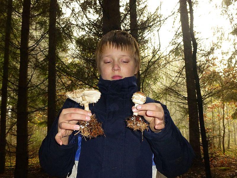 Und im dunklen Fichtenwald tauchen die schönsten Safran - Schirmpilze auf.