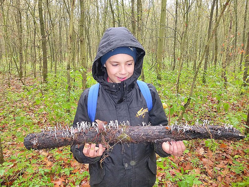 Etwas für ihn ganz besonders hat dieser Junge entdeckt. Einen ganzen Stamm voller Geweihförmigen Holzkeulen (Xylaria hypoxylon). Ich durfte sie für meine Pilzausstellung mit nehmen.