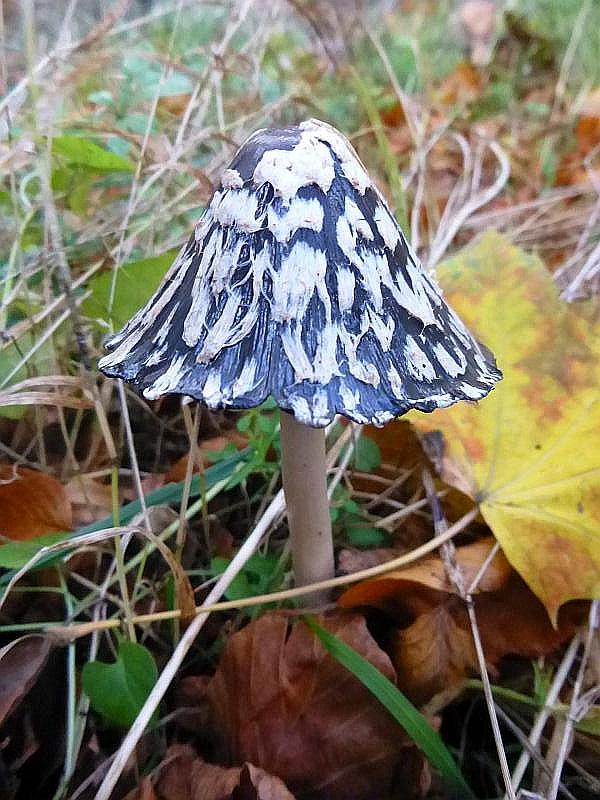 Als einer der ersten Pilze begrüßte uns hier der dekorative Specht - Tintling (Coprinus picaceus). Für unseren Gast aus dem Erzgebirge eine absolute Rarität! Standortfoto.