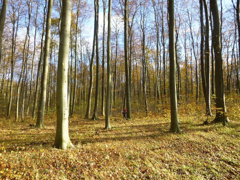 Durch den Großen Wohld zwischen Bad Doberan und Heiligendamm führte uns heute die 16. Pilzwanderung des Jahres.