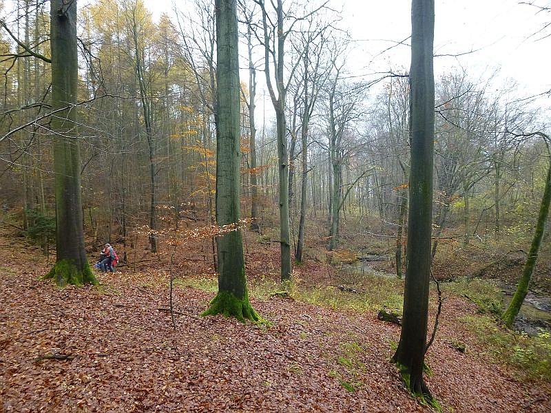 Und dieses gibt es besonders reichlich in den urwüchsigen und weitgehend naturbelassenen Buchenbereichen in Mildenitz - Nähe.