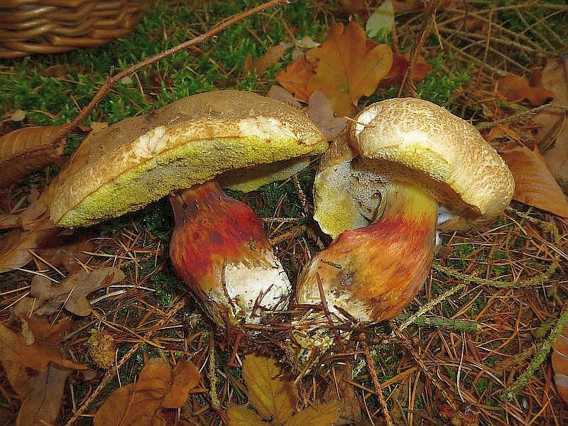 in einem kleinen Fichtenstück wuchsen noch einige (Sommer) Rotfüßchen (Xerocomus chrysenteron). Leider waren fast alle mehr oder weniger vom parasitischen Goldschimmel befallen, der sie ungenießbar, ja giftig machen soll.