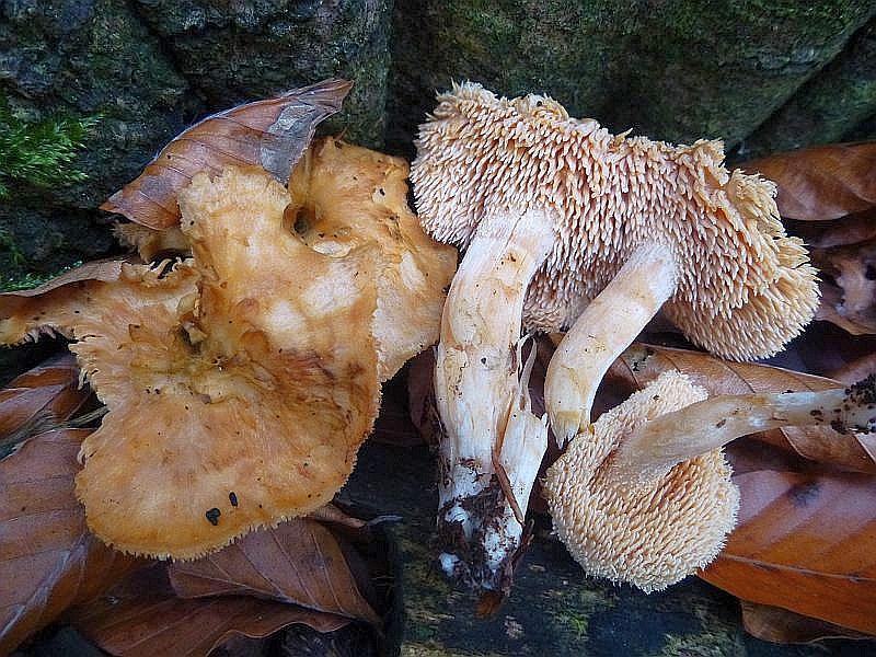 Zwischen den Trompeten - Pfifferlingen auch einige Rotgelbe Stoppelpilze (Hydnum rufescens). Sie sind kleiner und somit unergiebiger als der größere Semmelstoppelpilz. Auch habituell sehen sie anders aus. Essbar und am Standort fotografiert.