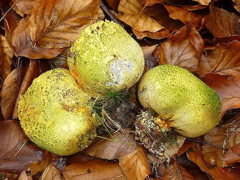 Die giftigen Dickschaligen Kartoffel - Hartboviste (Scleroderma citrina) gehören zu den Bauchpilzen. Die Sporen werden im inneren, im Bauch, gebildet. Durch mechanische Reize werden sie ins freie gesetzt und dem Wind anvertraut. Auch können sie an den Läufen von Tieren oder den Schuihen von Menschen, die gerne aus alte Stäublinge und Boviste rauf Puffen verbreitet werden. Die Boviste stehen schon ziemlich lange am Standort und es hat sich durch Wind und Wetter schon ein grünlicher Algenbesatz auf ihnen gebildet, der sie für ein Bild besonders attraktiv macht. Standortfoto.
