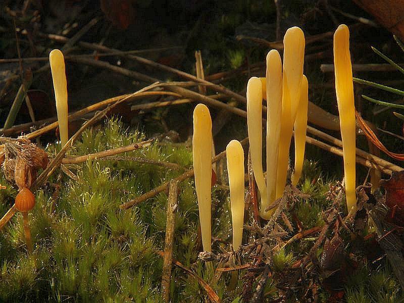 Gelbes Mooskeulchen (Clavulinopsis hevola). Dieses kleine, aber oft sehr gesellig wachsende, goldgelbe Keulchen ist im allgemeinen selten. Wir haben es wenige male auf unseren Kartierungsexkursionen am Rande von feuchten Erlenbrüchen mit Saftlingen vergesellschaftet gefunden. Die Art ist auch an Waldrändern, Waldwiesen sowie Mager- und Trockenrasen anzutreffen. Dieses Foto hat Wilhelm Schulz am 22.11.2012 am Standort geschossen.