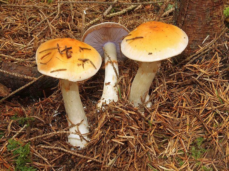 Auch den Ziegelgelben Schleimkopf (Cortinarius varius) werden wir in unseren Breiten (Mecklenburg) wohl kaum antreffen. Er soll eine weit verbreitete Art kalkhaltiger, montaner Nadelwälder sein. Sein 4 - 12 cm breiter, semmelbrauner bis fuchsigrauner Hut kann etwas schierig sein. Die Lamellen sind am Stiel ausgebuchtet angewachsen und lilaviolett bis später zimtbraun gefärbt. Der bis 10 cm lange und bis 2 cm dicke Stiel ist weilich und kann an den Velumresten am oberen Stielbereich von den Sporen, wie bei den meisten Haarschleierlingen, bräunlich bestäubt sein. Er wächst im Sommer und Herbst und soll essbar sein. Wir danken widerum Wilhelm Schulz für dieses sehr schöne Foto.