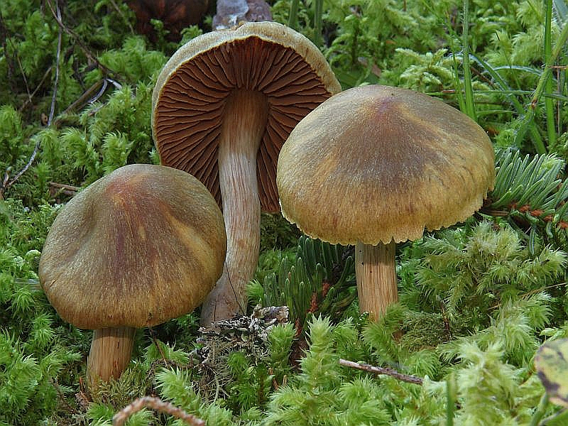 Grünfaseriger Rauhkopf (Cortinarius venetus). Der bis 6 cm breite Hut ist gewölbt bis ausgebreitet und stumpf gebuckelt, feinschuppig und olivgrün bis olivbraun gefärbt. Die Lamellen sind zunächst ebenfalls olivgrünlich und werden von den Sporen zunehmend bräunlich eingefärbt b.z.w. bestäubt. Der Stiel wird bis 8 cm lang und 1 cm dick und änlich gefärbt wie der Hut. Das olivgelbliche Fleisch riecht schwach rettichartig. Kein Speisepilz. Das Foto hat Wilhelm Schulz in Flattach/Schattseite aufgenommen.