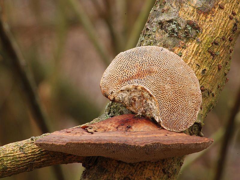 Rötende Tramete (Daedaleopsis confragosa). Dieser sehr häufige Porling mit Lamellenartiger Struktur auf der Hutunterseite ist leicht erkennbar. Insbesondere, wie auch auf dem Toto gut zu erkennen, verfärben sich die Fruchtkörper auf der Unterseite bei Berührung rotbräunlich. Die Lamellenartige Struktur ist oft mit Querverbindungen versehen, also meist nicht durchgängig. Wir finden die Art ganzjährig an verschiedenen Laubbäumen, besonders aber an Erlen, Birken und Weiden. Frisch wachsen die einjährigen Fruchtkörper im Sommer und Herbst. Dieses Foto hat Wilhelm Schulz am 08.09.2012 aufgenommen. Er sandte es mir unter dem Titel Daedaleopsis tricolor zu. Also übersetzt, die dreifarbige Tramete. In der tat ist hier die Hutoberfläche violettbräunlich getönt, was von den meisten Mykologen nur als Variante der Rötenden Tramete angesehen wird. Ungenießbar.