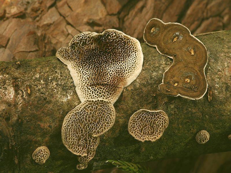 Die Großporige Datronie (Datronia mollis) ist weit verbreitet und relativ häufig an Ästen und Stümpfen von verschiedenen Laubhölzern, besonders aber abn Buche. Die dunkelbraunen Fruchtkörperkonsolen mit den etwas helleren, auffallend großen Poren, überziehen zumeist resupinat in unterschiedlicher Form und Ausdehnung das Substrat. Die Konsolen sind leicht ablösbar und auf druck bräunen sie. Die Pilz ruft im befallenen Holz eine Weißfäule hervor. Das Foto hat uns wieder Wilhelm Schulz zur Verfügung gestellt.