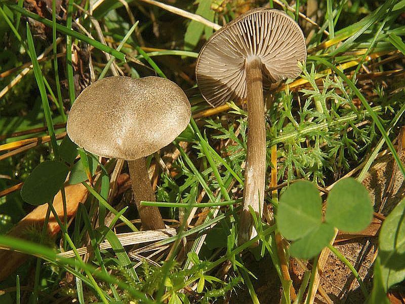 Der Rußblättriger Rötling (Entoloma jubatum) wächst von Juni - November auf ungedüngten Wieden. Seine rußiggrauen Lamellen, der Standort und die aufgerauten Faserschüppchen auf dem Hut sind schon recht gute Kennzeichen, um ihn auch makroskopisch anzusprechen. Der Hut wird bis 7 cm Breit und der Fruchtkörper vis 12 cm hoch. Ein Geruch ist kaum vorhanden, dafür schmeckt er allerdings bitter. Kein Speisepilz, vieleicht auch wie viele Rätlinge mehr oder weniger giftig!?. Das Bild hat uns Wilhelm Schulz zur Verfügung gestellt. Er hat die Pilze am 17.08.2012 bei Mallnitz/Seebachtal in Kärnten aufgenommen.