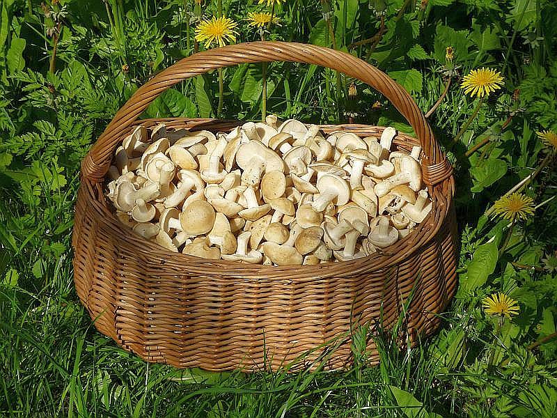 An diesem Mai - Wochenende soll es wieder soweit sein. An beiden Tagen laden wir zum Pilzimbiss und zur Ausstellungsbesichtigung in den Steinpilz - Wismar ein. Neben unserer traditionellen Pilzsuppe, soll es auch wieder die leckere Maipilz - Pfanne geben.