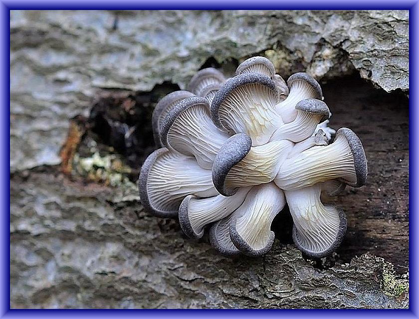 Der Austernseitling (Pleurotus ostreatus) erscheint verstärkt ab November, vor allem wenn es vorher schon Frost gegeben hat. Wir finden ihn dann bis zum Frühling an Buchen, Pappeln, Weiden, Linden, Kastanien und vielen anderen Hölzern, Selten auch an Nadelholz wie Fichte. Sind die Pilze so jung wie auf diesem wunderschönen Foto von Andreas Okrent, sind sie noch zart uznd schmecken vorzüglich. Auch wenn sie schon größer und etwas zäh geworden sind, lohnt es noch sie mit zu nehmen. Die zähen Teile können zu einer herzhaften Brühe ausgekocht werden.