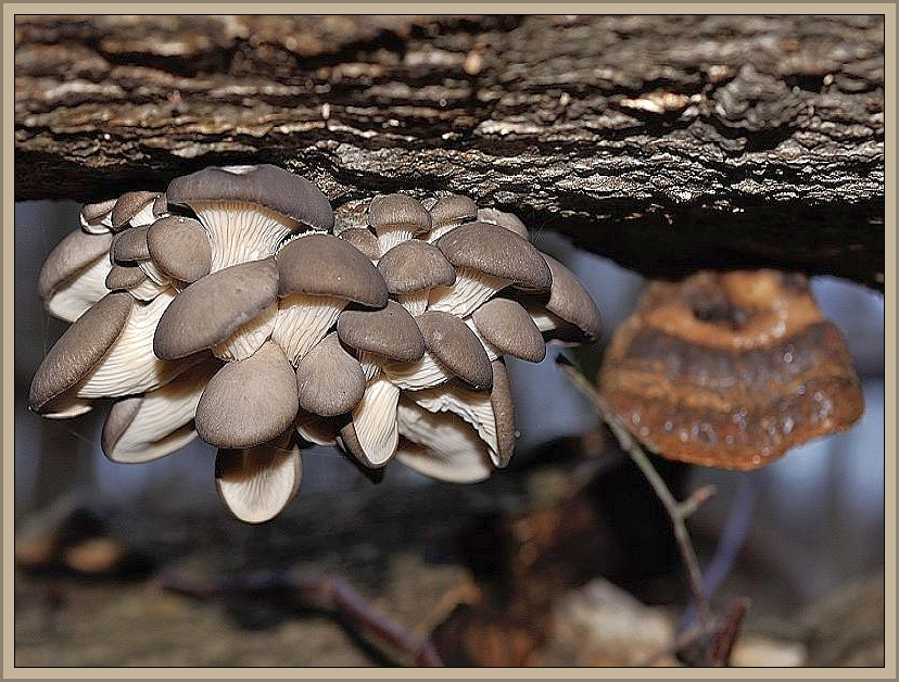 Austern - Seitlinge (Pleurotus ostreatus) sind für Andreas Okrent wahrlich ein dankbares Fotomotiv. Hier nochmals ein Bild von ihm aus dem Jahr 2013.