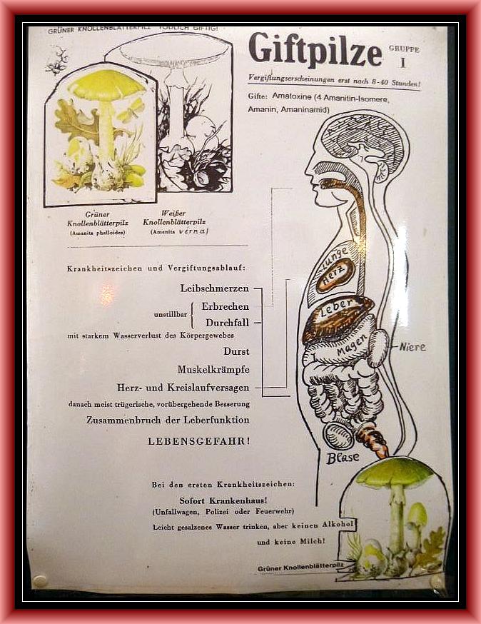 Gruppe 1 = Knollenblätterpilze. Es besteht Lebensgefahr durch die giftigsten Pilze die es bei uns gibt!