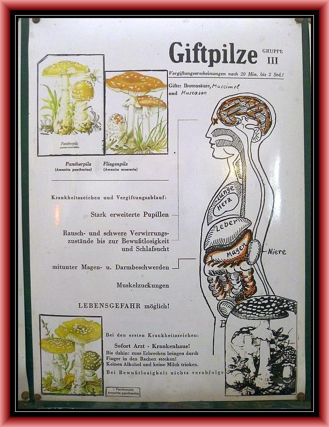 Gruppe 3: Fliegenpilz/Pantherina - Syndrom. Heftige Vergiftungen, aber Kaum Lebensgefahr!